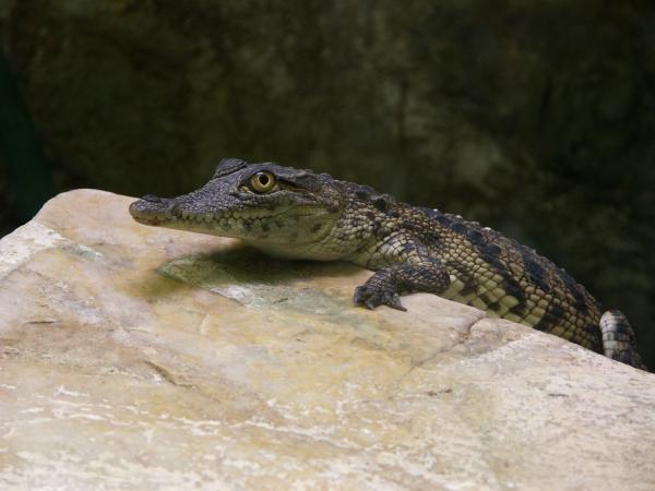 Jeune crocodylus niloticus