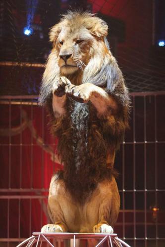 Tom le lion - Cirque Bouglione