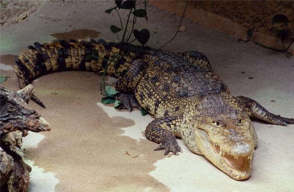 Crocodile - Ménagerie du Jardin des Plantes