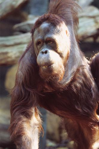Orang outang - Ménagerie du Jardin des Plantes