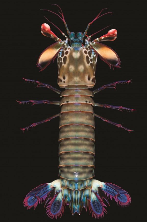 Calcinus elegans, Expédition La Planète revisitée, Atimo vatae